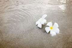 O Plumeria (frangipani) floresce na praia Foto de Stock