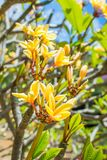 O Plumeria havaiano amarelo bonito floresce em um dia claro e ensolarado Foto de Stock