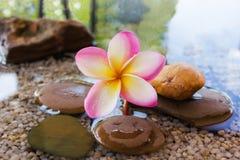 O Plumeria ou o frangipani decorado na água e no seixo balançam no estilo do zen Fotos de Stock Royalty Free