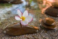O Plumeria ou o frangipani decorado na água e no seixo balançam no zen Imagem de Stock Royalty Free