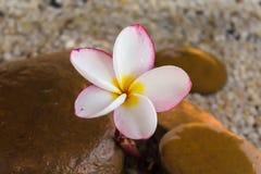 O Plumeria ou o frangipani decorado na água e no seixo balançam no zen Fotografia de Stock