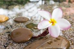 O Plumeria ou o frangipani decorado na água e no seixo balançam no zen Foto de Stock Royalty Free
