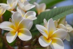 O Plumeria tem a aparência bonita e o aroma agradável Foto de Stock