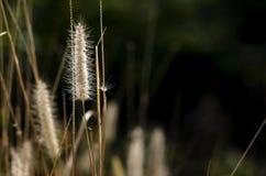 O Poaceae ou a grama verdadeira no fundo preto para o espaço da cópia Fotos de Stock