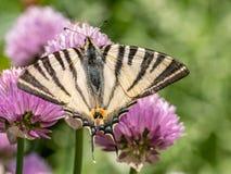 O podalirius escasso de Iphiclides do swallowtail da borboleta senta-se sobre fotografia de stock