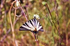 O podalirius escasso de Iphiclides do swallowtail que senta-se na flor branca, grama amarela foto de stock