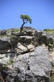 O poder da vida, a árvore está crescendo em uma rocha Fotos de Stock Royalty Free