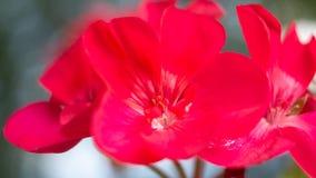 O poder do gerânio vermelho fotos de stock