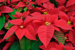 O poinsettia vermelho floresce o close up foto de stock royalty free