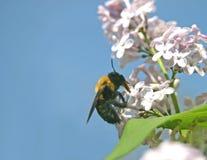 O polinizador e pollinated Fotos de Stock
