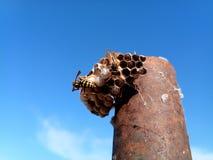 O polistov das vespas do ninho Vespiary fotografia de stock royalty free