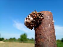 O polistov das vespas do ninho Vespiary imagens de stock