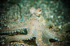O polvo está ciente bunaken sulawesi Indonésia subaquática fotografia de stock