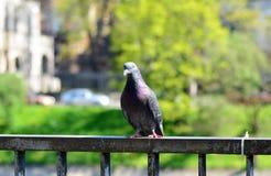 O pombo 2 fotos de stock royalty free