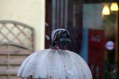 O pombo 2 Fotografia de Stock