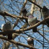 O pombo com um colar violeta Fotografia de Stock Royalty Free