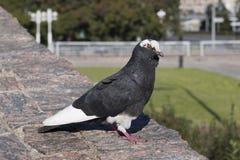 O pombo doméstico, mergulhou com cor branca e preta imagem de stock royalty free