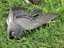 O pombo encontra-se na grama com uma asa aberta Fotografia de Stock Royalty Free