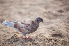 O pombo está andando ao longo da areia amarela Imagem de Stock Royalty Free