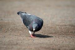 O pombo está procurarando pelo alimento Fotografia de Stock
