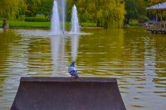O pombo mergulhou no primeiro plano e a fonte e o lago no fundo foto de stock