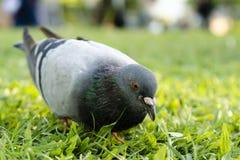 O pombo na grama procura algum alimento (o foco seletivo) Fotografia de Stock Royalty Free