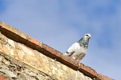 O pombo na parede olha ao redor Imagem de Stock Royalty Free
