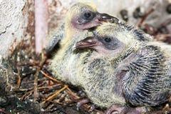 O pombo novo no ninho Imagem de Stock