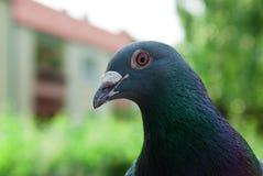 O pombo olha na câmera Fotos de Stock