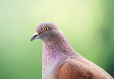 O pombo olha-o Imagens de Stock