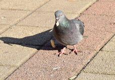 O pombo que come algum pão, bolos, Foto de Stock