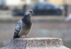 O pombo salpicado está sentando-se na superfície do granito imagem de stock