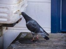 O pombo sedento encontra uma maneira inovativa de obter uma bebida da água fresca no cais fotos de stock royalty free