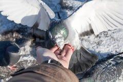 O pombo senta-se em uma mão da pessoa Fotos de Stock Royalty Free