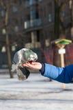 O pombo senta-se em uma mão da pessoa Imagens de Stock Royalty Free