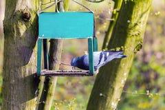 O pombo urbano come sementes de girassol na calha na floresta imagem de stock royalty free
