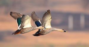 O ponto faturado ducks em voo imagens de stock