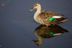 O ponto faturou o pato em uma água no lago, reflexão de espelho bonita do pássaro do pernas de pau imagens de stock