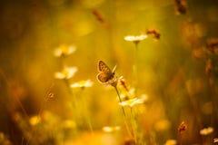 O por do sol do nascer do sol da borboleta da flor da margarida tonificou o foco seletivo da foto Imagens de Stock
