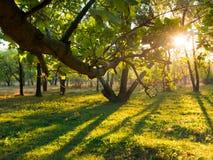 O por do sol irradia no ramo do carvalho da floresta do carvalho do outono da floresta do outono Imagem de Stock