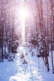 O por do sol na madeira entre as árvores estica no período do inverno Imagem de Stock Royalty Free
