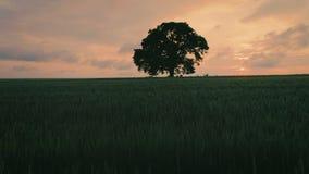 O por do sol nubla-se sobre o campo de trigo verde e a árvore só, vídeo aéreo video estoque