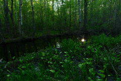 O por do sol refletido na água do rio em arvoredos da floresta da mola não é lírios de água de florescência Imagens de Stock