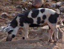 O porco Fotografia de Stock Royalty Free