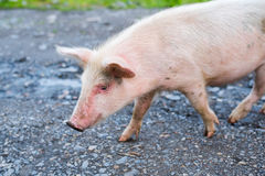 O porco anda na estrada de terra Imagens de Stock Royalty Free