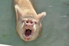 O porco cor-de-rosa de sorriso Fotografia de Stock