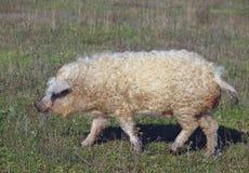 O porco da raça húngara Mangalitsa Imagem de Stock Royalty Free