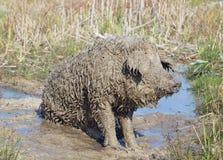 O porco da raça húngara Mangalitsa Imagens de Stock