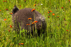O porco- (dorsatum do Erethizon) espreita entre flores Imagem de Stock