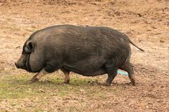 O porco inchado potenciômetro grande fotos de stock